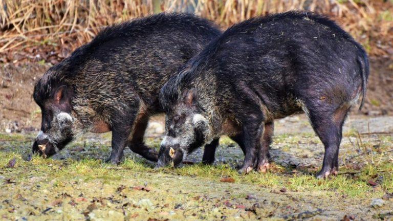 Jagd auf Wildschweine mit Lockmittel